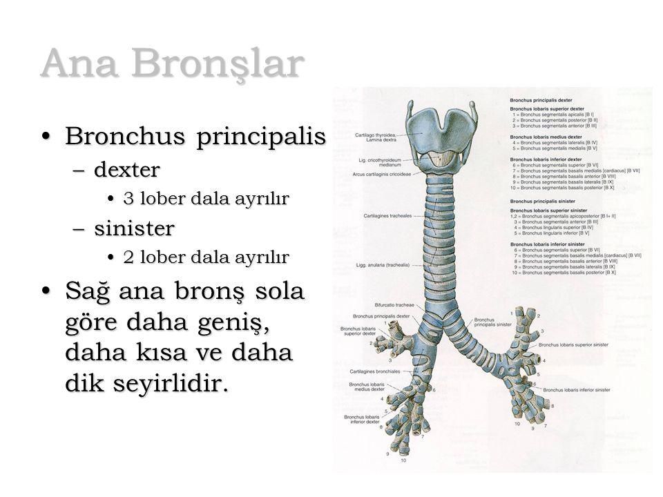 Ana Bronşlar Bronchus principalis