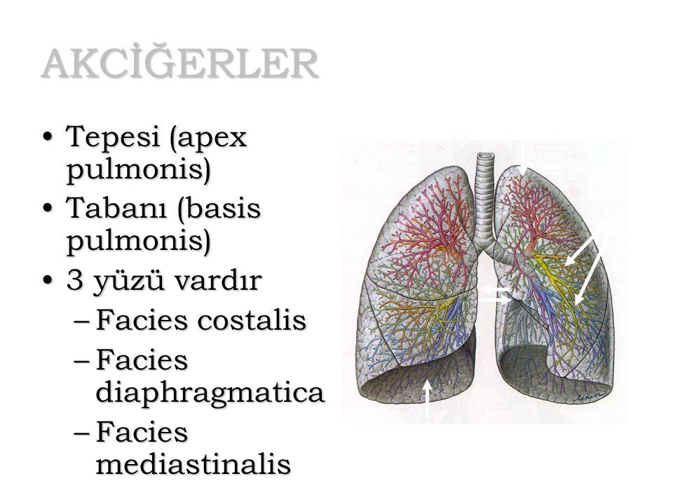 AKCİĞERLER Tepesi (apex pulmonis) Tabanı (basis pulmonis)