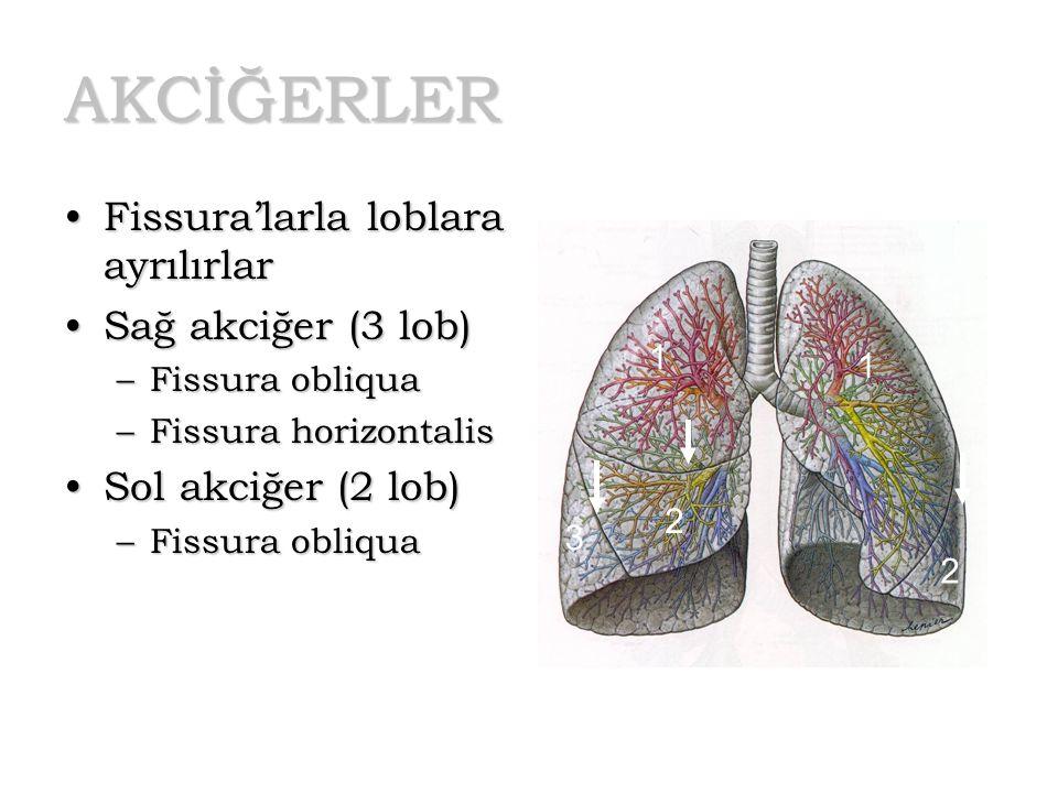 AKCİĞERLER Fissura'larla loblara ayrılırlar Sağ akciğer (3 lob)