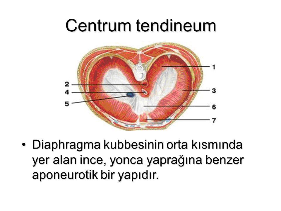 Centrum tendineum Diaphragma kubbesinin orta kısmında yer alan ince, yonca yaprağına benzer aponeurotik bir yapıdır.