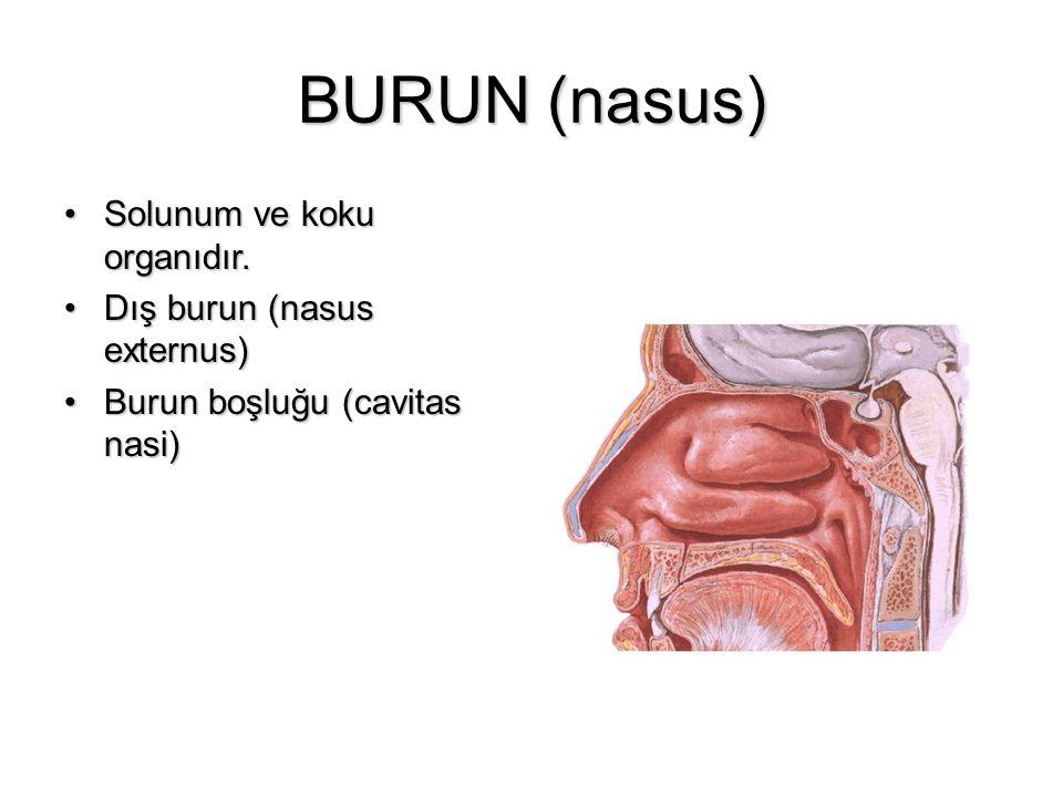 BURUN (nasus) Solunum ve koku organıdır. Dış burun (nasus externus)
