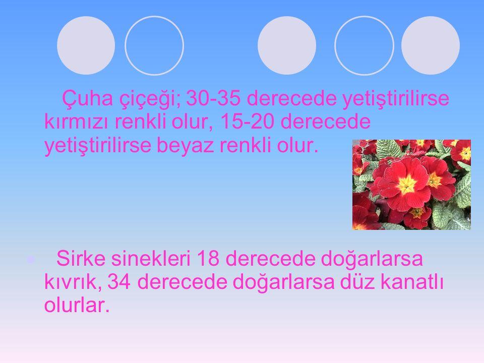 Çuha çiçeği; 30-35 derecede yetiştirilirse kırmızı renkli olur, 15-20 derecede yetiştirilirse beyaz renkli olur.