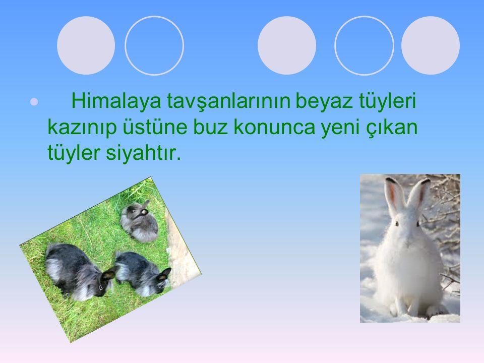 Himalaya tavşanlarının beyaz tüyleri kazınıp üstüne buz konunca yeni çıkan tüyler siyahtır.