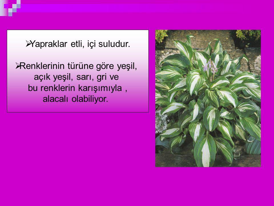 Yapraklar etli, içi suludur. Renklerinin türüne göre yeşil,