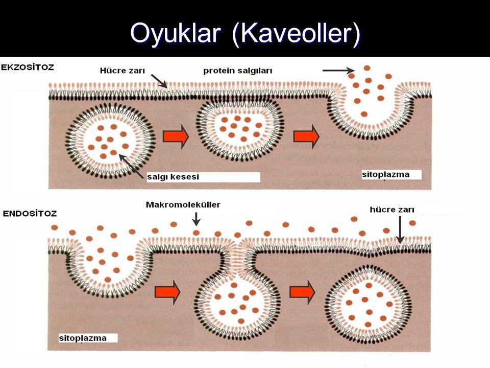 Oyuklar (Kaveoller)