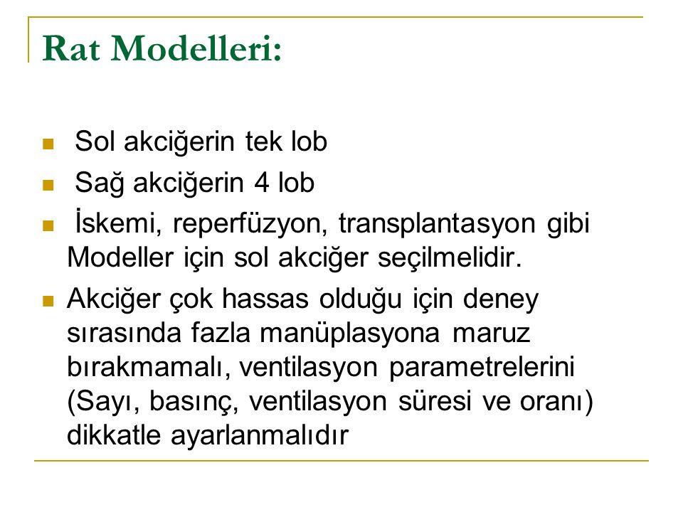 Rat Modelleri: Sol akciğerin tek lob Sağ akciğerin 4 lob