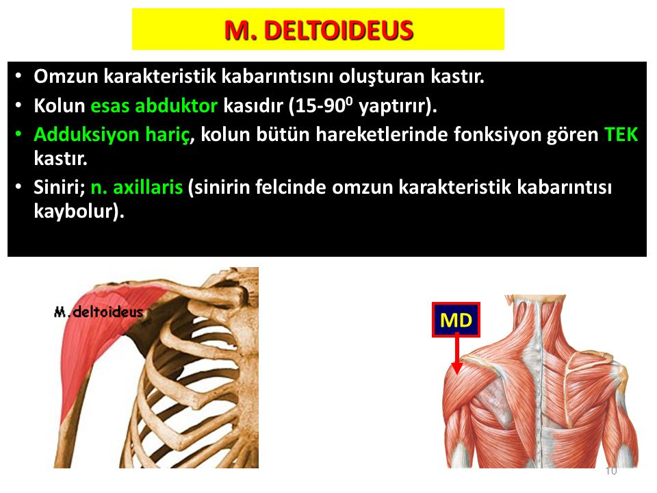 M. DELTOIDEUS Omzun karakteristik kabarıntısını oluşturan kastır.