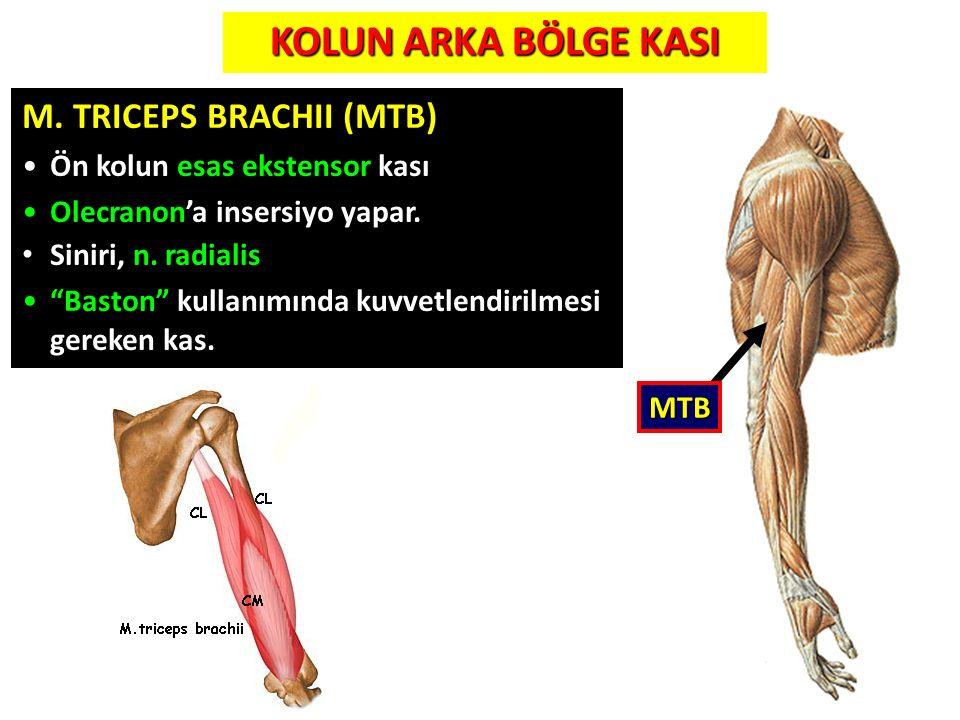 KOLUN ARKA BÖLGE KASI M. TRICEPS BRACHII (MTB)