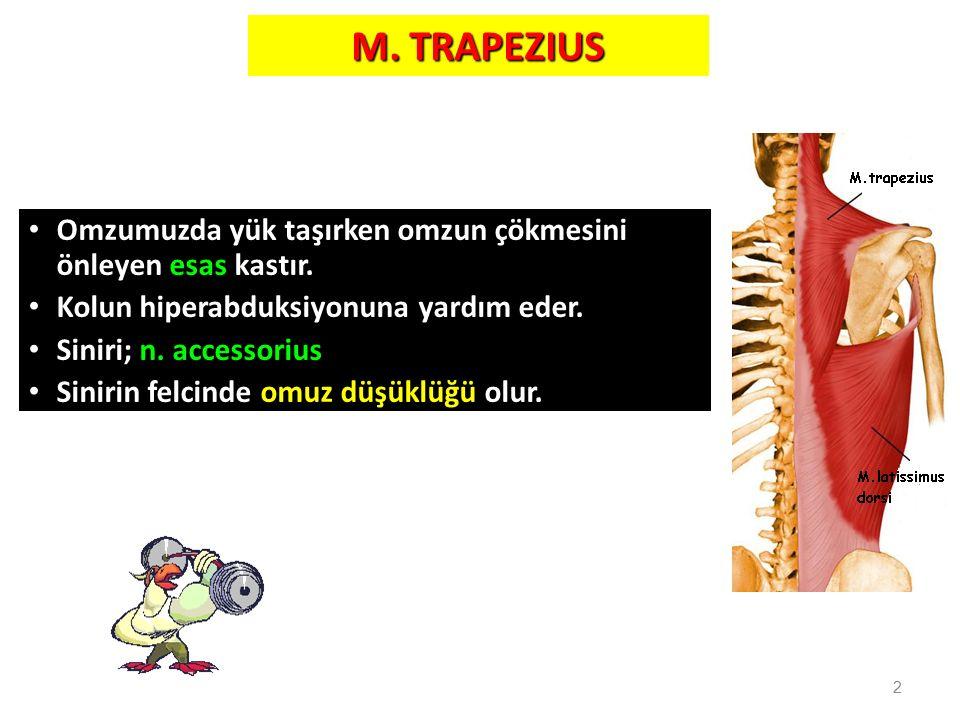 M. TRAPEZIUS Omzumuzda yük taşırken omzun çökmesini önleyen esas kastır. Kolun hiperabduksiyonuna yardım eder.