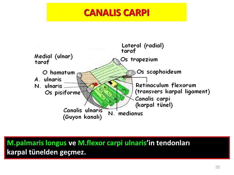 CANALIS CARPI M.palmaris longus ve M.flexor carpi ulnaris'in tendonları karpal tünelden geçmez. 35