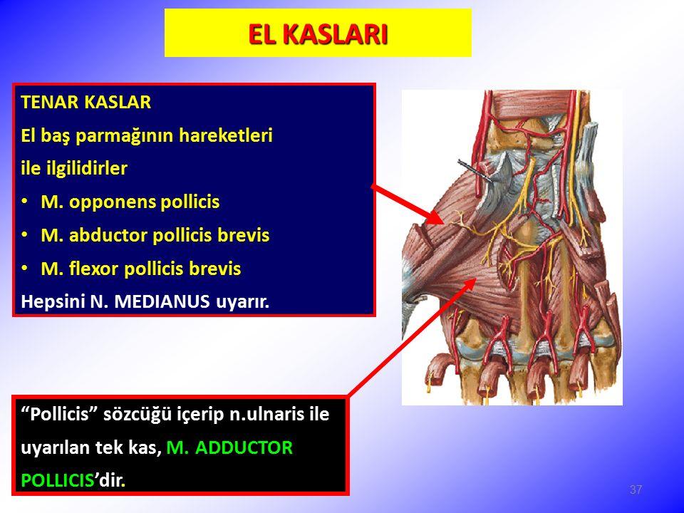 EL KASLARI TENAR KASLAR El baş parmağının hareketleri ile ilgilidirler