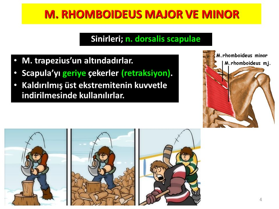 M. RHOMBOIDEUS MAJOR VE MINOR Sinirleri; n. dorsalis scapulae