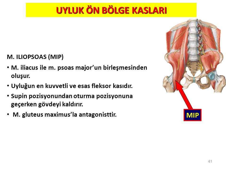 UYLUK ÖN BÖLGE KASLARI MIP M. ILIOPSOAS (MIP)