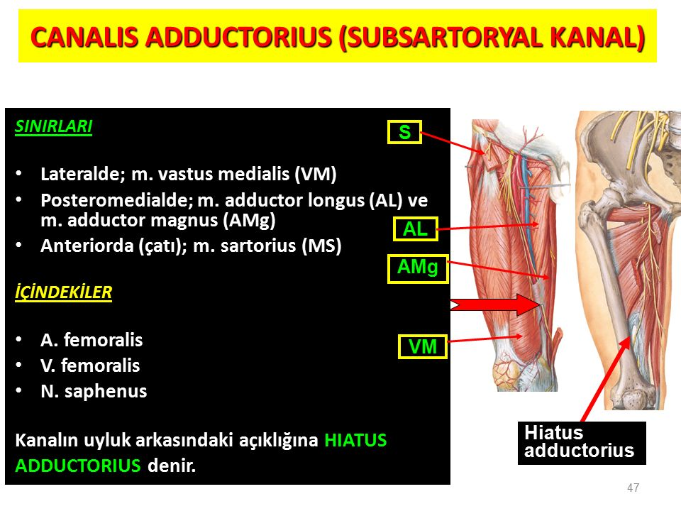 CANALIS ADDUCTORIUS (SUBSARTORYAL KANAL)