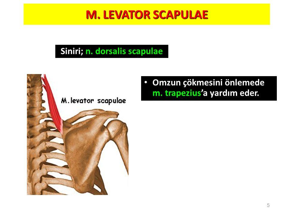 Siniri; n. dorsalis scapulae