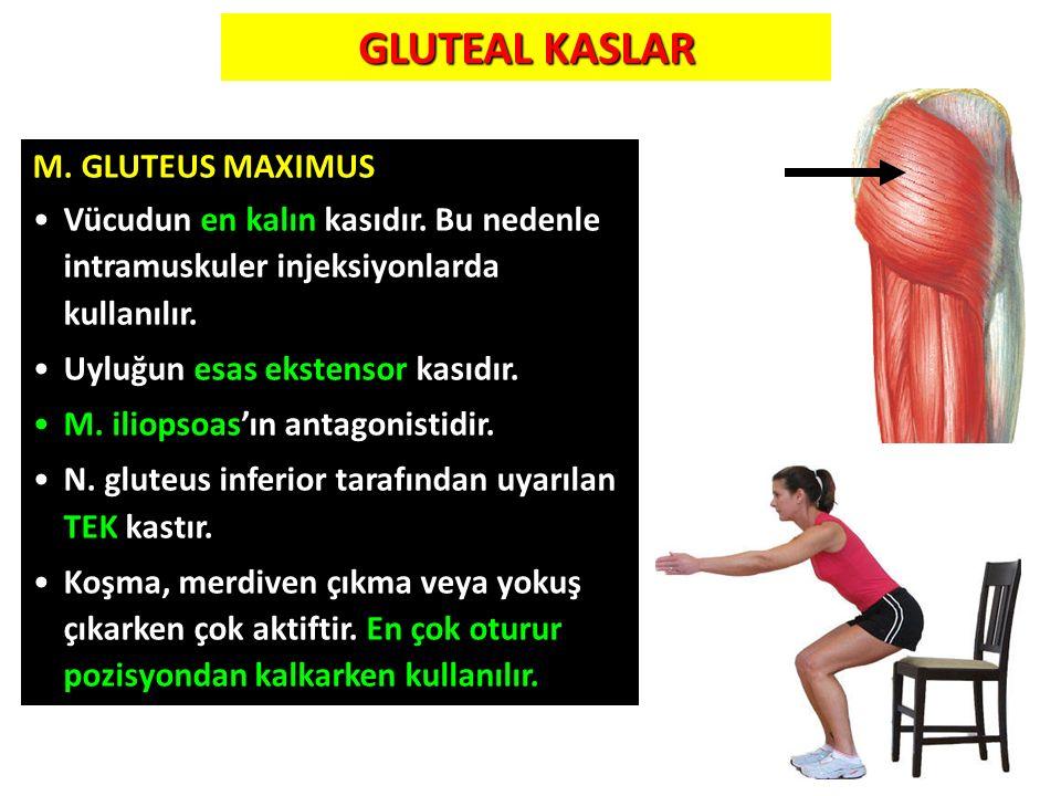 GLUTEAL KASLAR M. GLUTEUS MAXIMUS