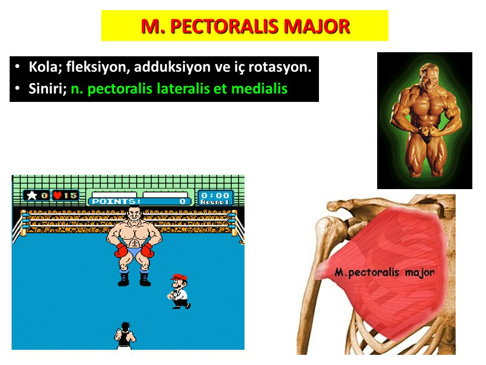 M. PECTORALIS MAJOR Kola; fleksiyon, adduksiyon ve iç rotasyon.
