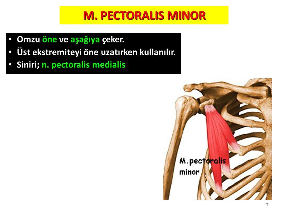 M. PECTORALIS MINOR Omzu öne ve aşağıya çeker.