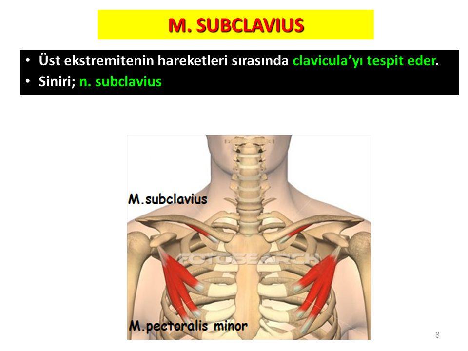 M. SUBCLAVIUS Üst ekstremitenin hareketleri sırasında clavicula'yı tespit eder. Siniri; n. subclavius.