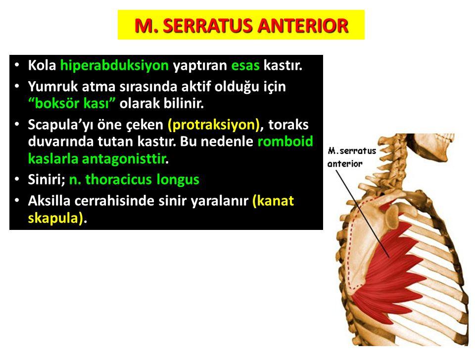 M. SERRATUS ANTERIOR Kola hiperabduksiyon yaptıran esas kastır.