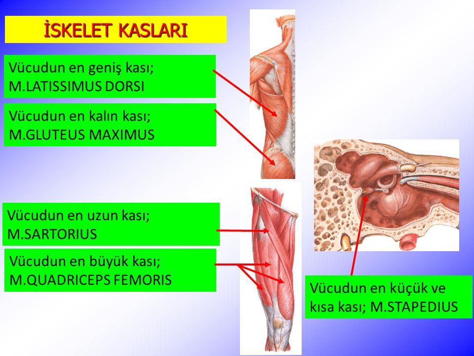İSKELET KASLARI Vücudun en geniş kası; M.LATISSIMUS DORSI