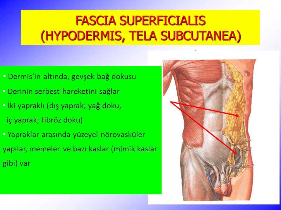 FASCIA SUPERFICIALIS (HYPODERMIS, TELA SUBCUTANEA)