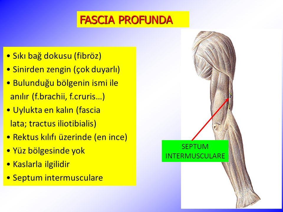 FASCIA PROFUNDA Sıkı bağ dokusu (fibröz) Sinirden zengin (çok duyarlı)
