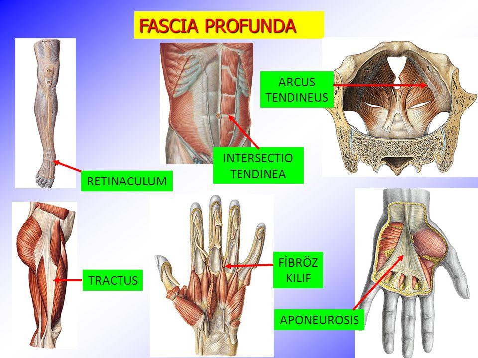 FASCIA PROFUNDA ARCUS TENDINEUS INTERSECTIO TENDINEA RETINACULUM