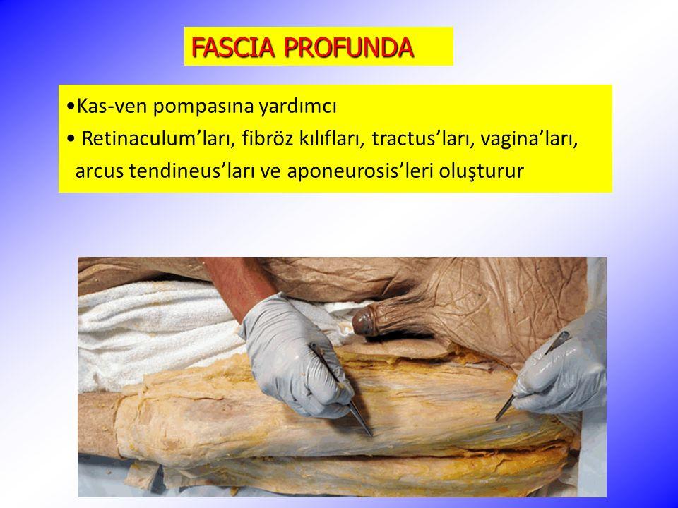 FASCIA PROFUNDA Kas-ven pompasına yardımcı