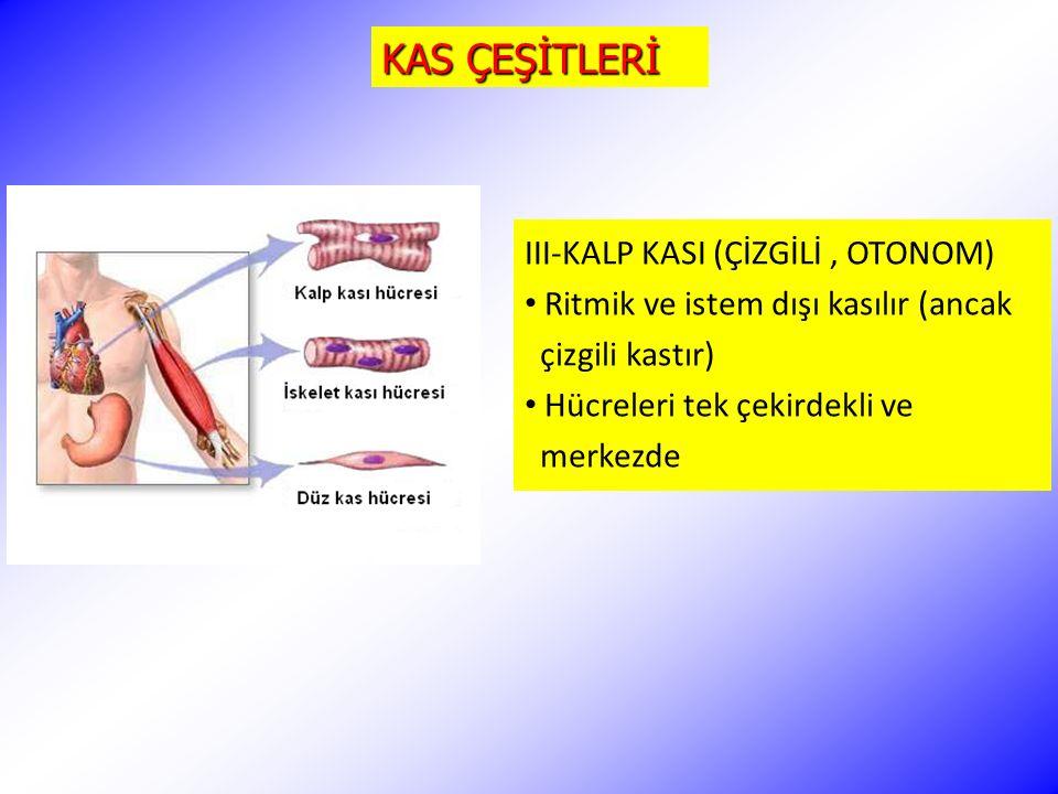 KAS ÇEŞİTLERİ III-KALP KASI (ÇİZGİLİ , OTONOM)
