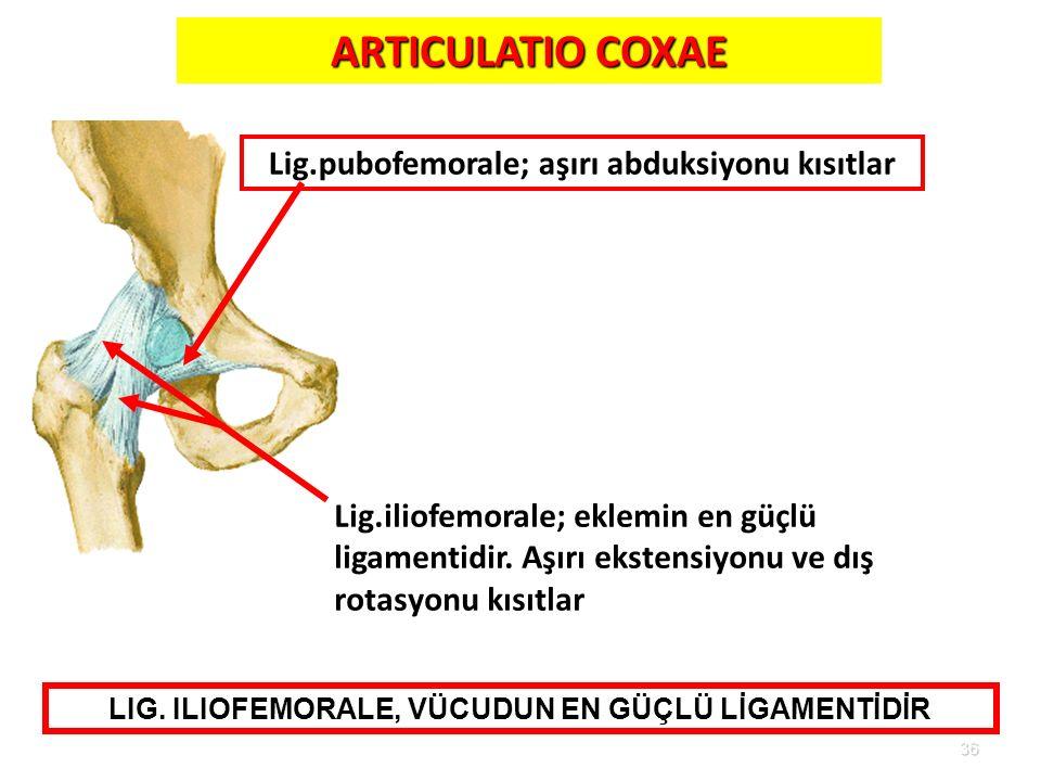 ARTICULATIO COXAE Lig.pubofemorale; aşırı abduksiyonu kısıtlar