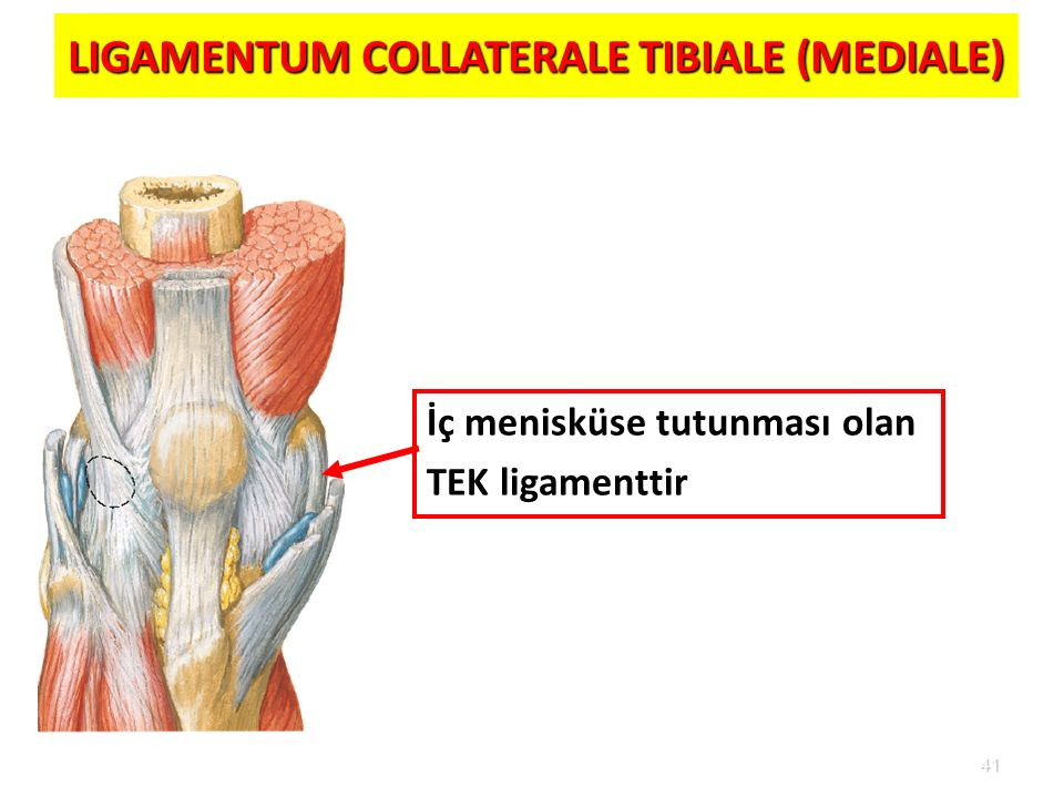 LIGAMENTUM COLLATERALE TIBIALE (MEDIALE)