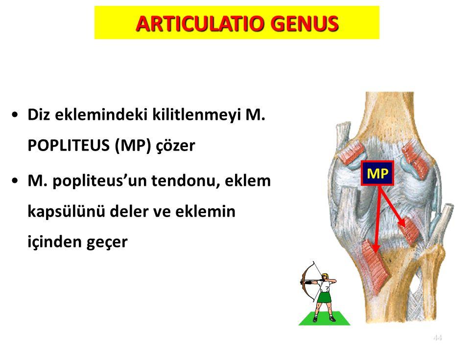 ARTICULATIO GENUS Diz eklemindeki kilitlenmeyi M. POPLITEUS (MP) çözer