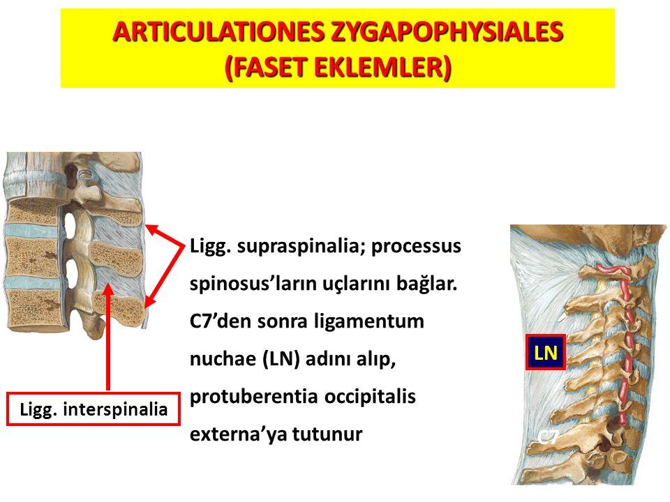 ARTICULATIONES ZYGAPOPHYSIALES (FASET EKLEMLER)