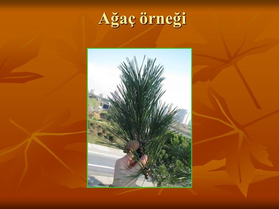 Ağaç örneği