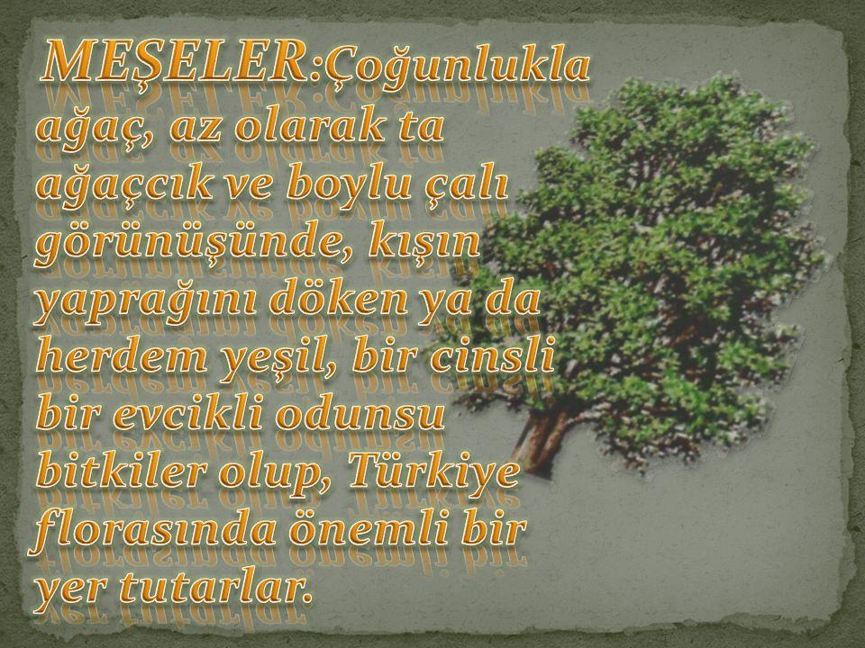 MEŞELER:Çoğunlukla ağaç, az olarak ta ağaçcık ve boylu çalı görünüşünde, kışın yaprağını döken ya da herdem yeşil, bir cinsli bir evcikli odunsu bitkiler olup, Türkiye florasında önemli bir yer tutarlar.
