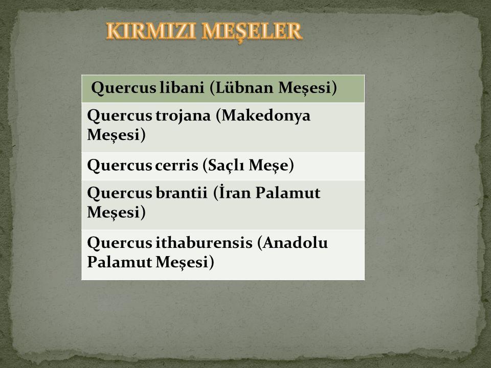 KIRMIZI MEŞELER Quercus libani (Lübnan Meşesi)