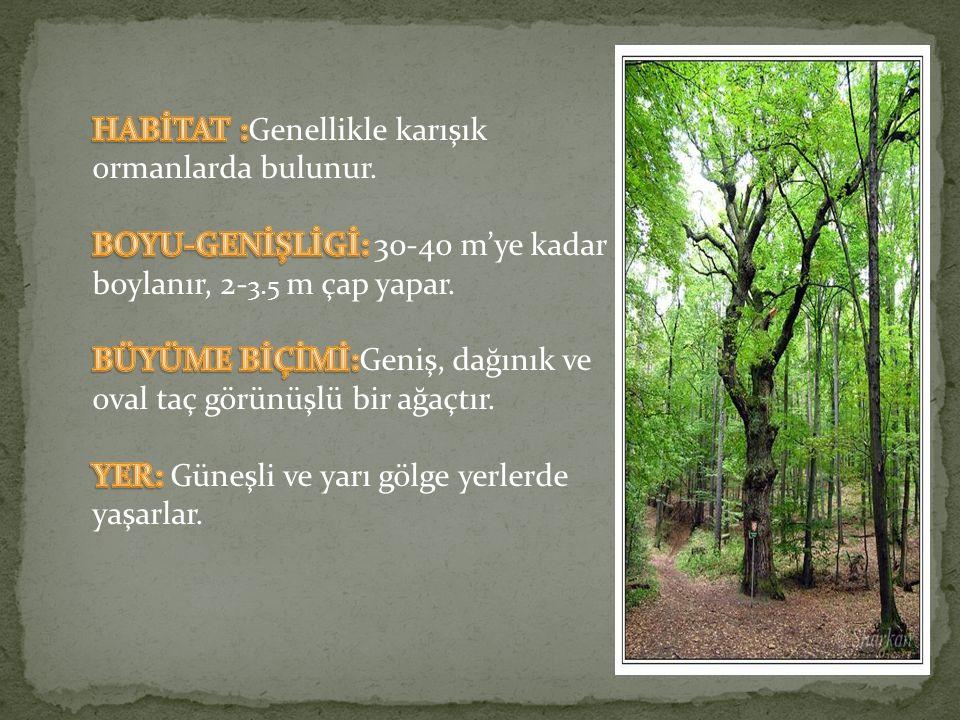 HABİTAT :Genellikle karışık ormanlarda bulunur