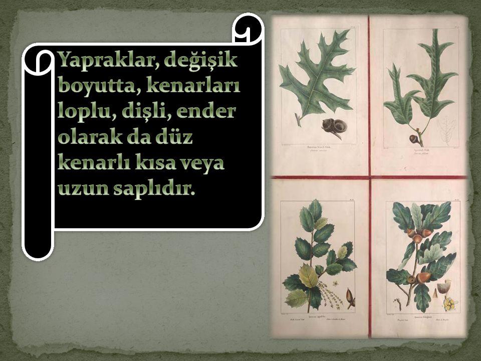 Yapraklar, değişik boyutta, kenarları loplu, dişli, ender olarak da düz kenarlı kısa veya uzun saplıdır.