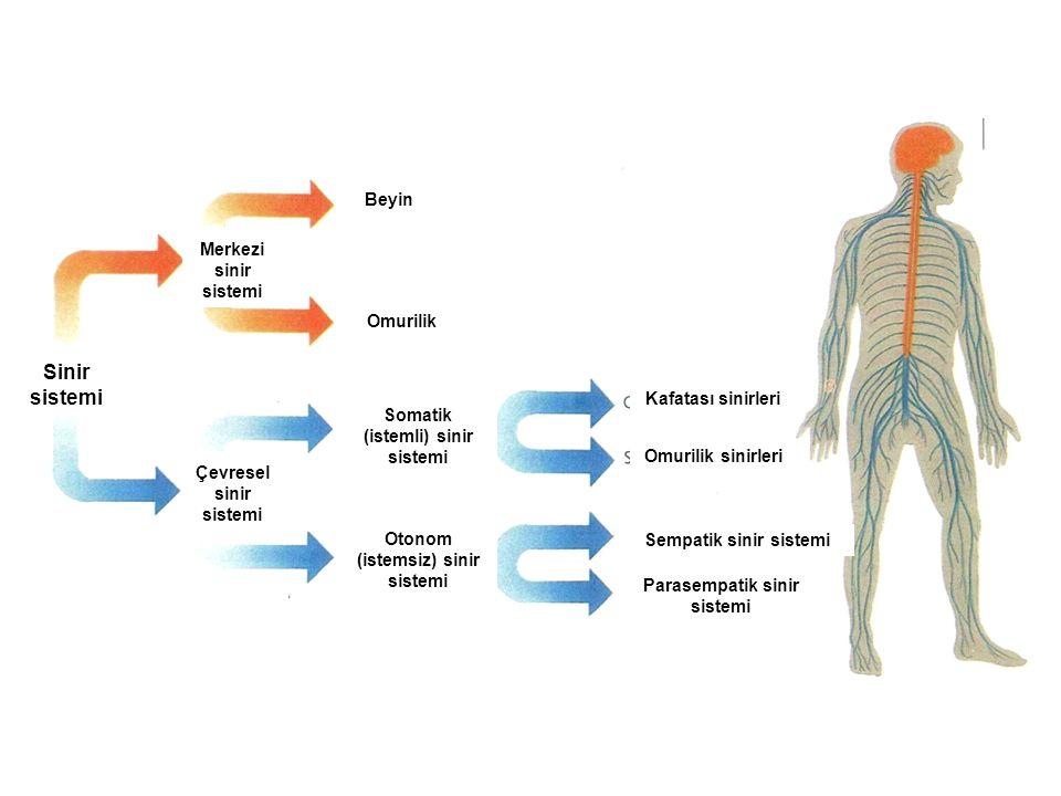 Sinir sistemi Beyin Merkezi sinir sistemi Omurilik Kafatası sinirleri