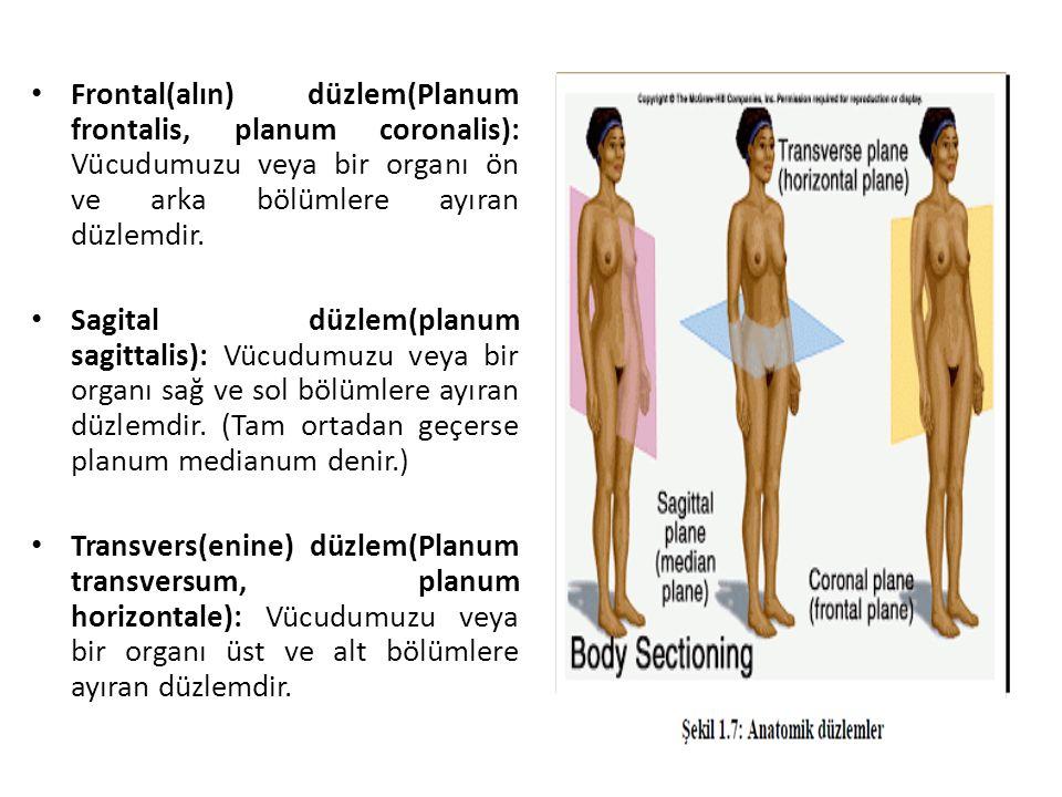 Frontal(alın) düzlem(Planum frontalis, planum coronalis): Vücudumuzu veya bir organı ön ve arka bölümlere ayıran düzlemdir.