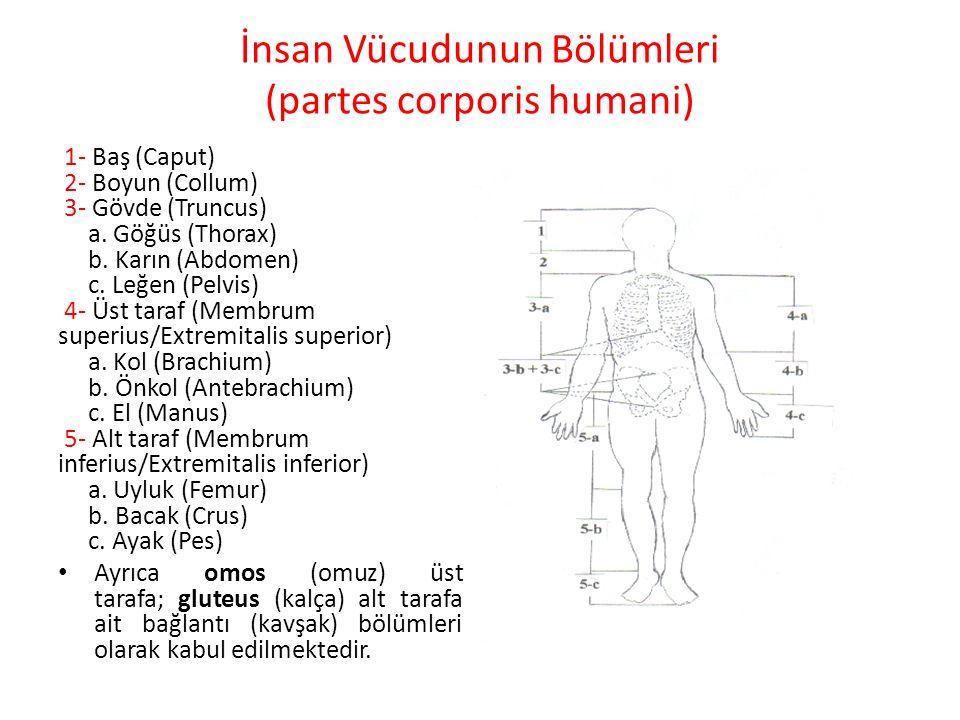 İnsan Vücudunun Bölümleri (partes corporis humani)
