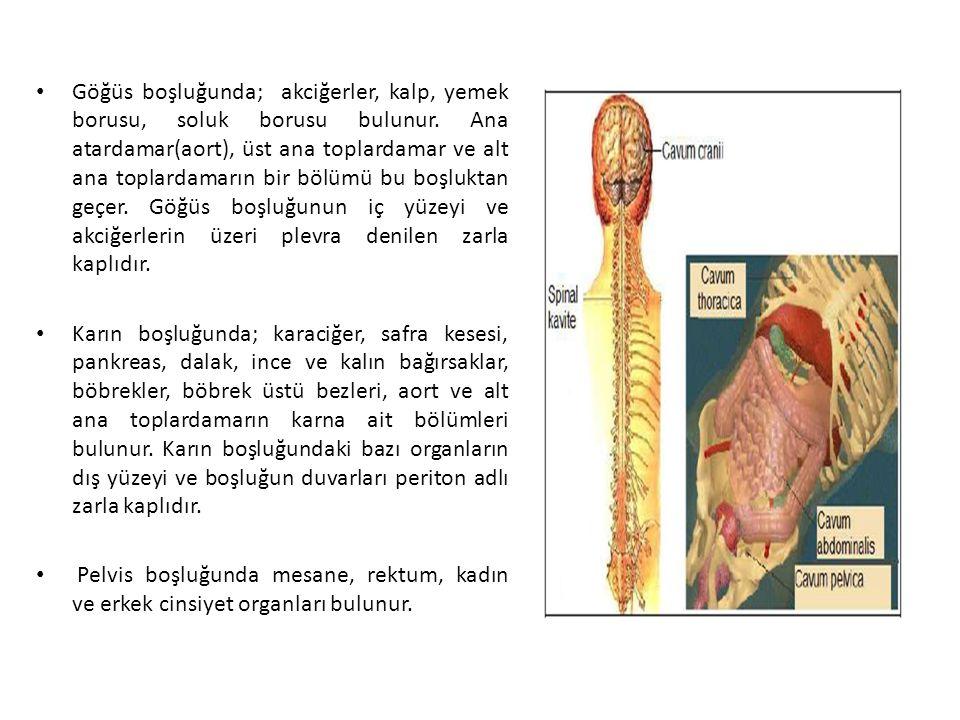 Göğüs boşluğunda; akciğerler, kalp, yemek borusu, soluk borusu bulunur
