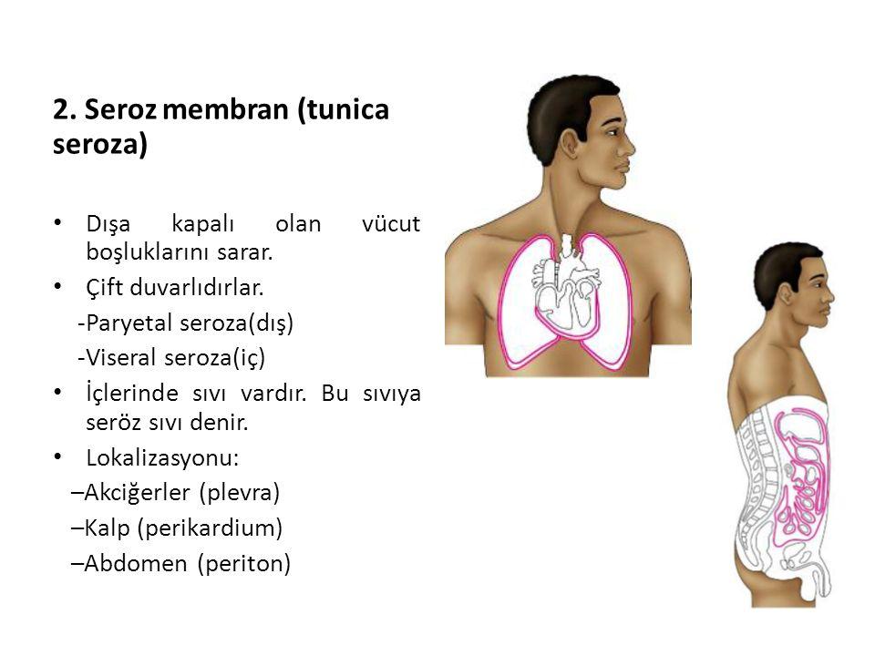 2. Seroz membran (tunica seroza)