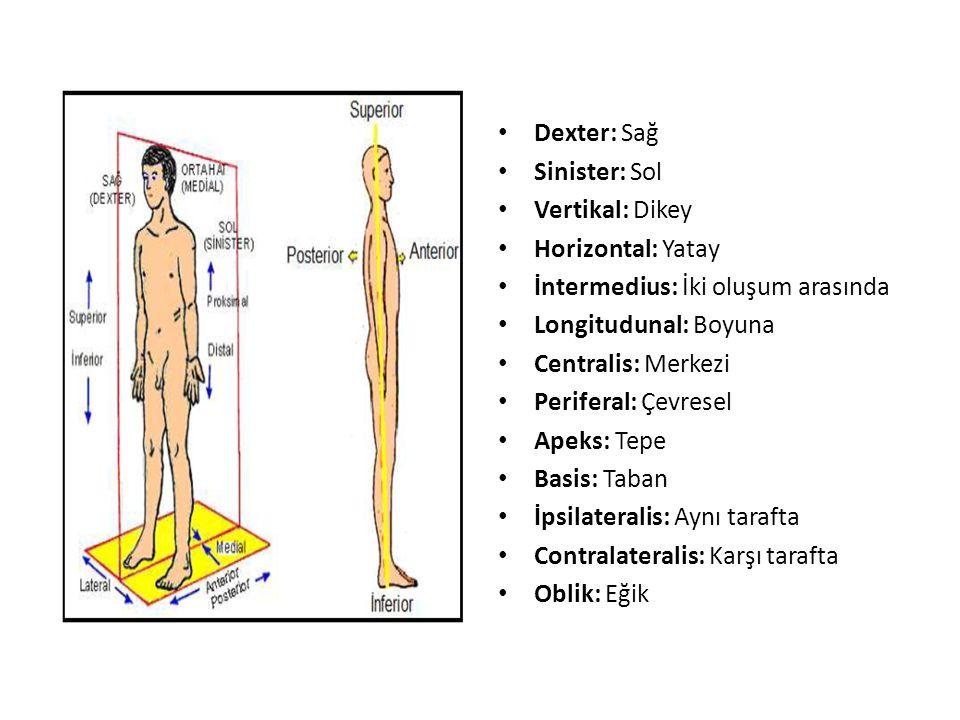 Dexter: Sağ Sinister: Sol. Vertikal: Dikey. Horizontal: Yatay. İntermedius: İki oluşum arasında.