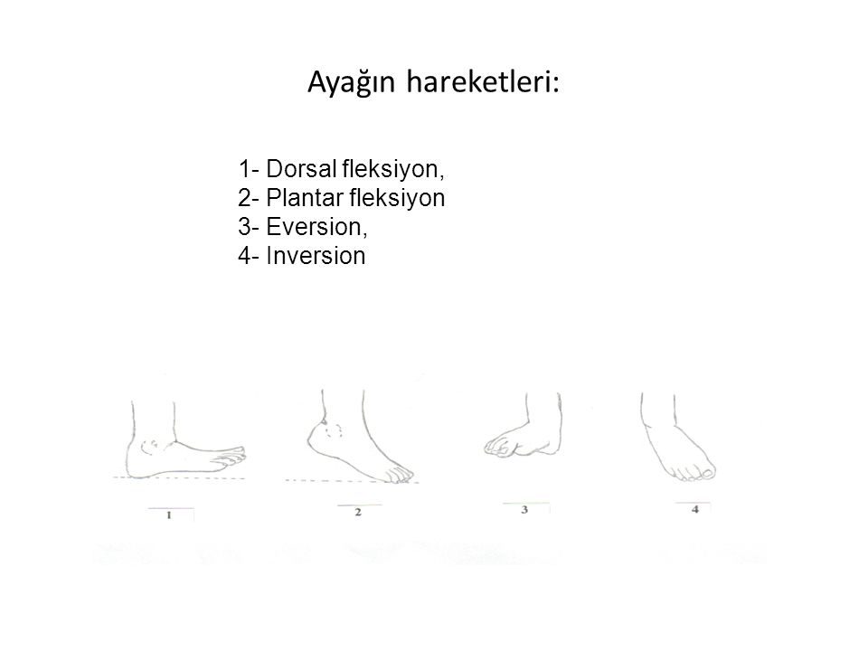 Ayağın hareketleri: 1- Dorsal fleksiyon, 2- Plantar fleksiyon