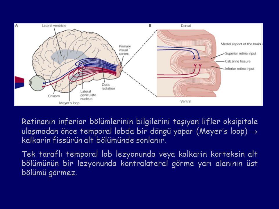 Retinanın inferior bölümlerinin bilgilerini taşıyan lifler oksipitale ulaşmadan önce temporal lobda bir döngü yapar (Meyer's loop)  kalkarin fissürün alt bölümünde sonlanır.