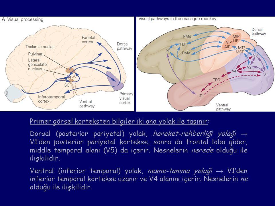 Primer görsel korteksten bilgiler iki ana yolak ile taşınır: