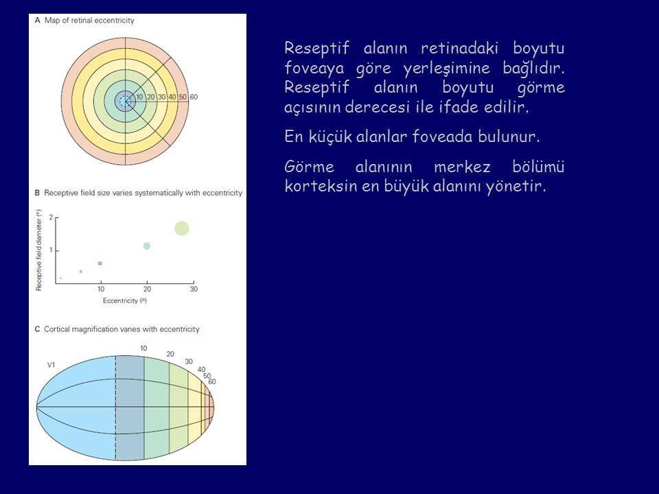 Reseptif alanın retinadaki boyutu foveaya göre yerleşimine bağlıdır