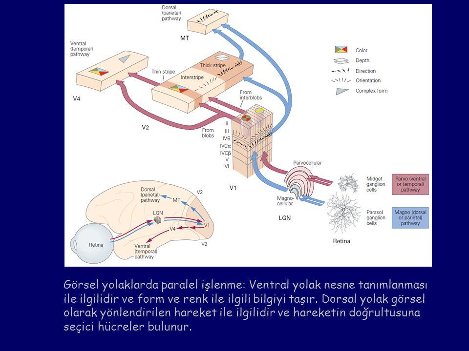 Görsel yolaklarda paralel işlenme: Ventral yolak nesne tanımlanması ile ilgilidir ve form ve renk ile ilgili bilgiyi taşır.